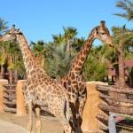 jirafas Rio Safari